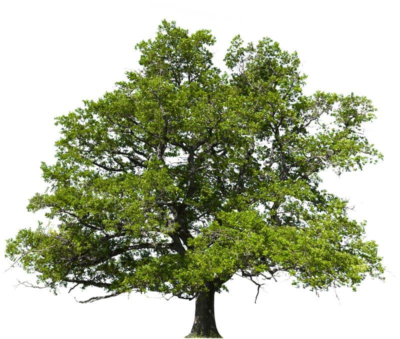 Holzarten-Eichenbaum