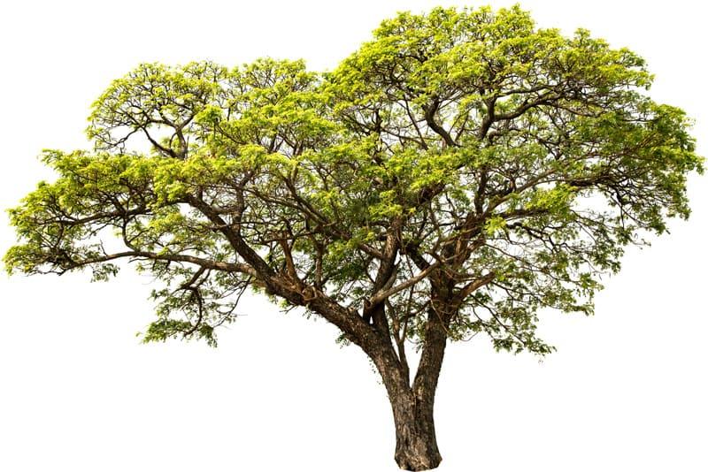 Holzarten-Nussbaum